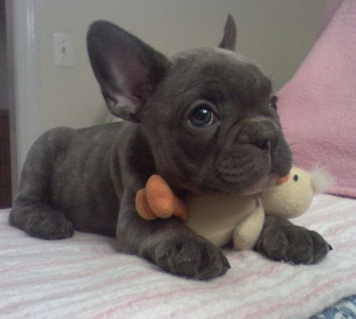 Blue Miniature French Bulldog Katie_s_roxy_girl_at_7_weeks_a.jpg