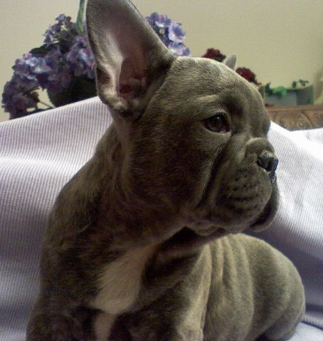 red fawn pied french bulldog